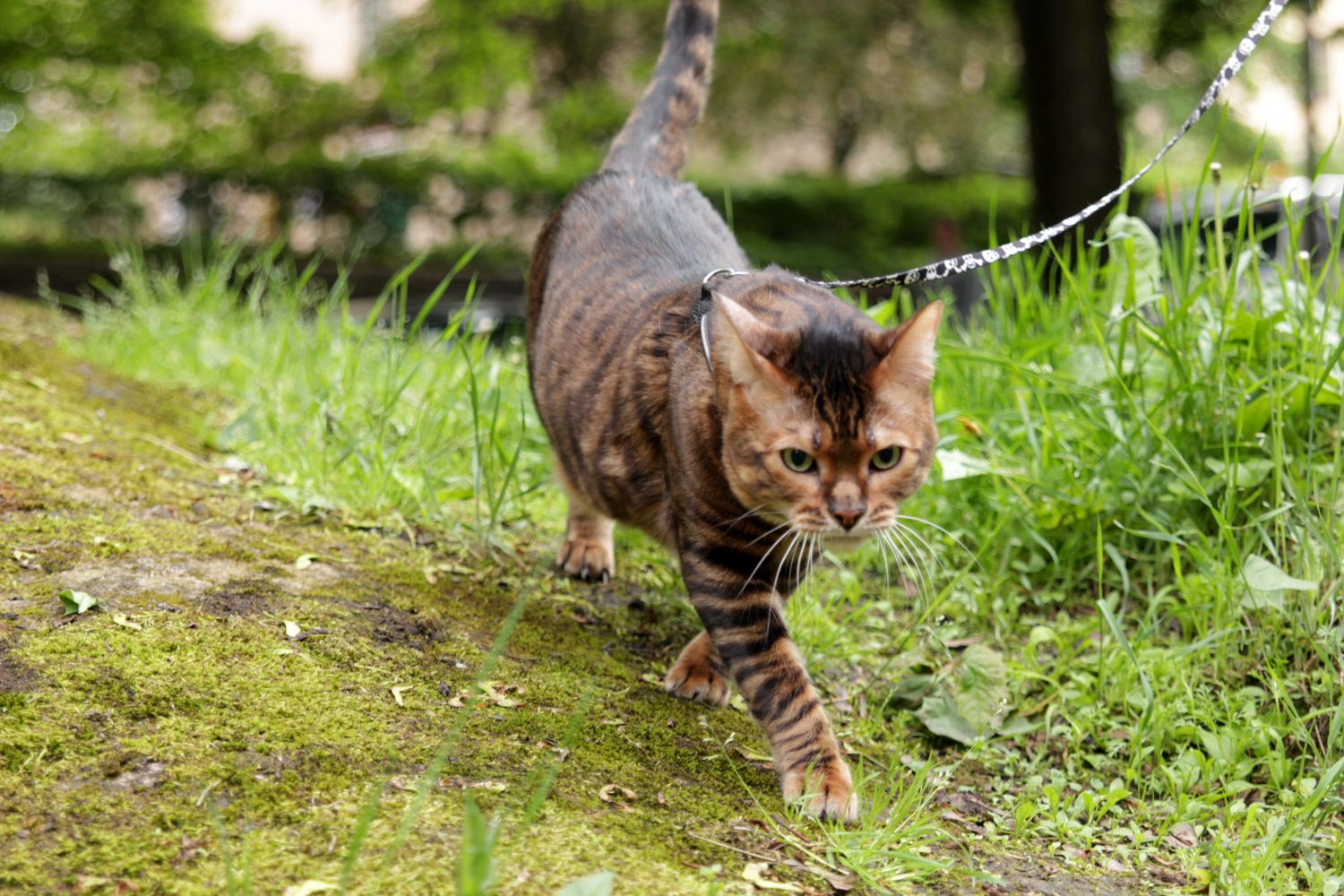 WhiteStripes Cattery | First Toyger breeder in Nordic Countries