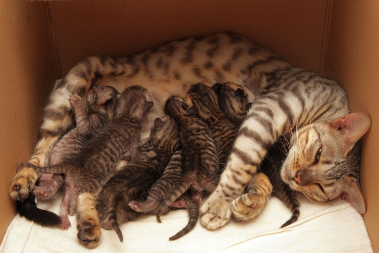 WhiteStripes Greenwich CON Silver Toyger - litter